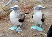 Blue Footed Booby Birds, Galapagos Island