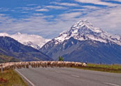 Sheep Crossing Road at Mount Cook Nat'l Park NZ